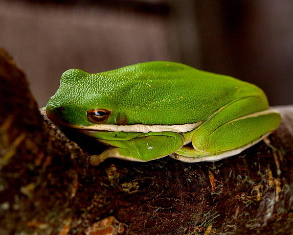 Tree Frog Poster featuring the photograph Green Tree Frog by James Granberry