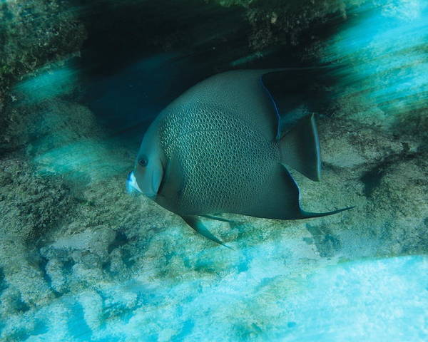 Pomacanthus Arcuatus Poster featuring the photograph Grey Angelfish by Alexis Rosenfeld