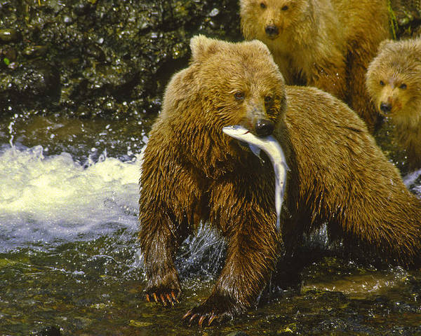 Alakan Brown Bear With Cub Poster featuring the photograph Grizzly Bear And Cubs by Boyd Norton