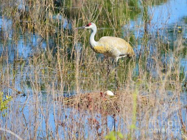 Sandhill Crane Poster featuring the photograph Guarding The Nest by Lynda Dawson-Youngclaus