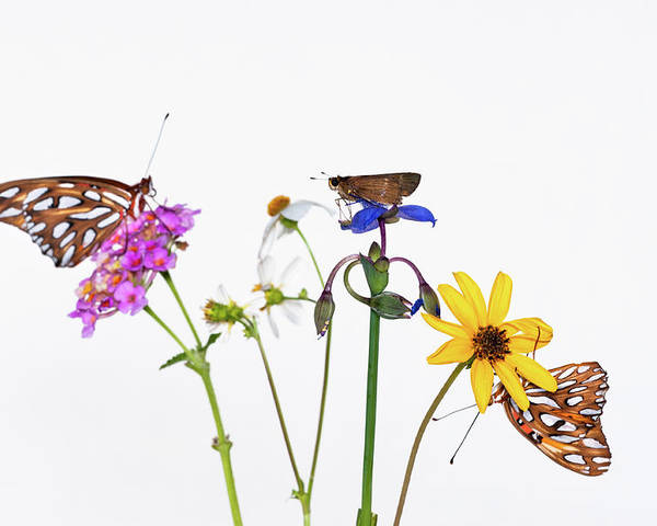 Horizontal Poster featuring the photograph Gulf Fritillary And Brown Skipper by Jim McKinley