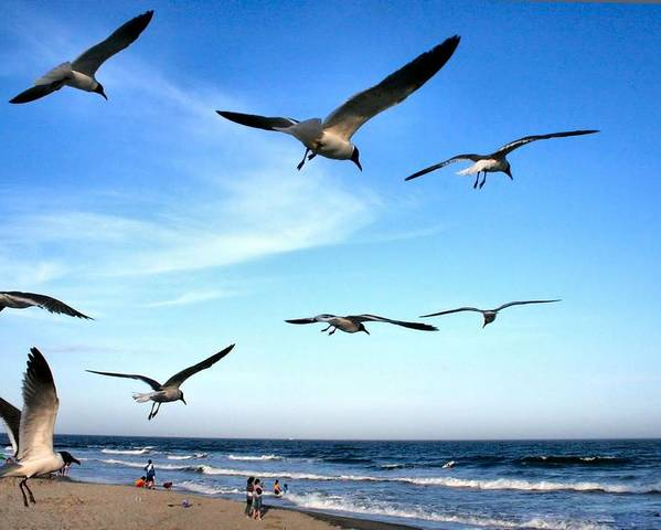 Seagull Poster featuring the photograph Gulls by John Loreaux