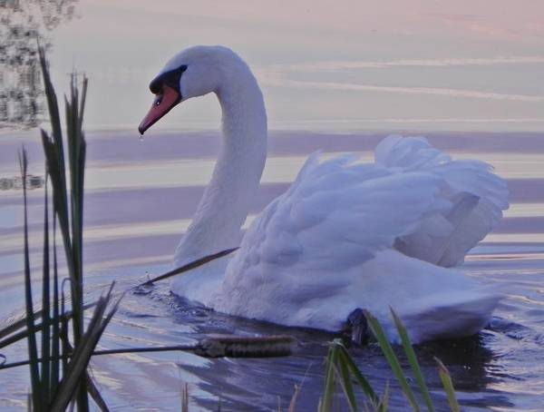 Swan Poster featuring the photograph Hansel At Dawn by Milo  Rober