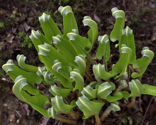 Phyllitis Scolopendrium Poster featuring the photograph Hart's Tongue Fern Unfurling by Colin Varndell