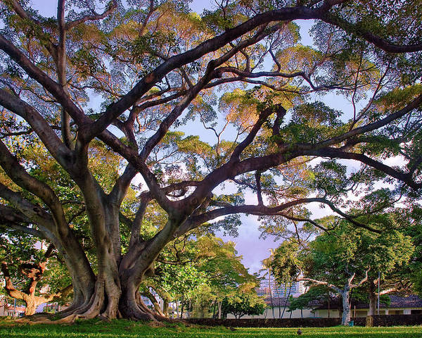 Tree Poster featuring the photograph Hawaii Tree by Dave Dilli