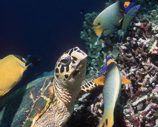 Foxface Rabbitfish Poster featuring the photograph Hawksbill Turtle Feeding by Georgette Douwma