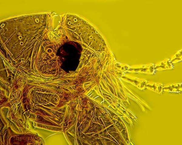 Human Flea Poster featuring the photograph Head Of A Human Flea, Light Micrograph by Dr Keith Wheeler