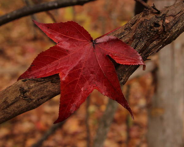 Red Leaf Poster featuring the photograph Hello Red by Bob Whitt