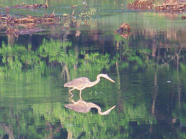 Bird Poster featuring the photograph Heron Reflections1 by Martha Abell