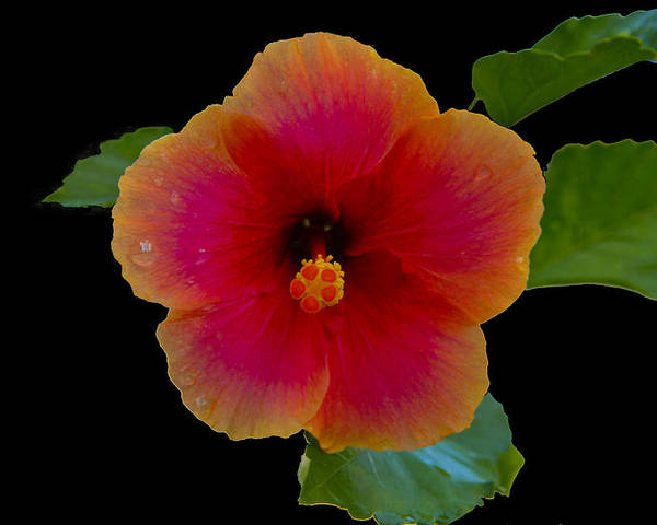 Flower Poster featuring the photograph Hibiscus by Stan Williams