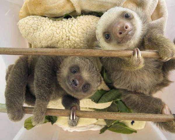 Mp Poster featuring the photograph Hoffmanns Two-toed Sloth Orphaned Babies by Suzi Eszterhas