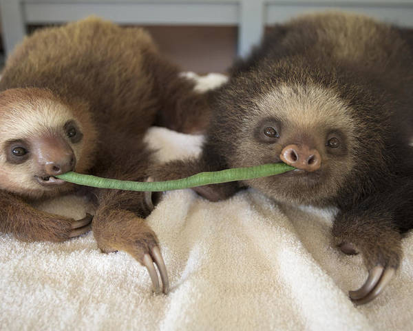 Mp Poster featuring the photograph Hoffmanns Two-toed Sloth Orphans Eating by Suzi Eszterhas