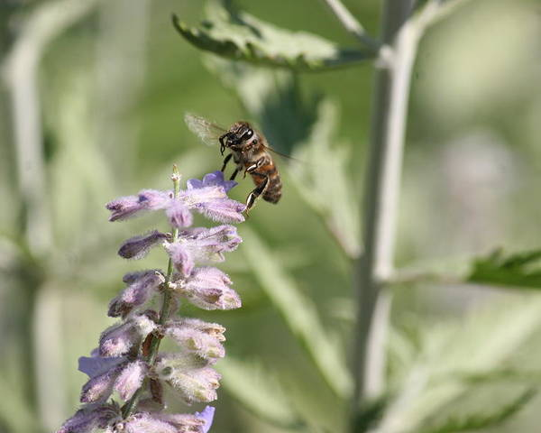Bee Poster featuring the photograph Honey Bee In Flight On Lavender by David Dinsdale