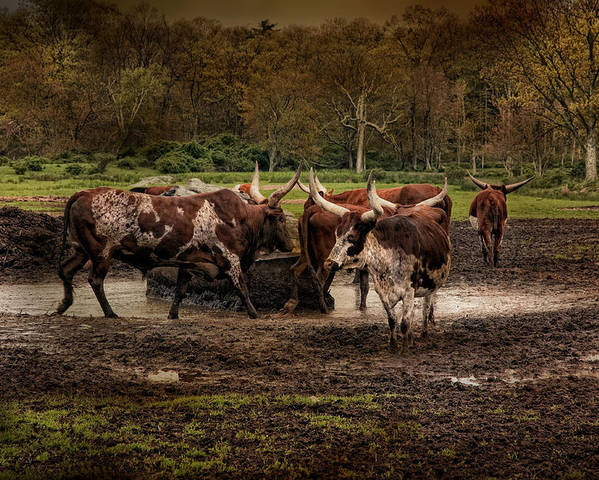 Longhorns Poster featuring the photograph Horns Plenty by Robin-Lee Vieira
