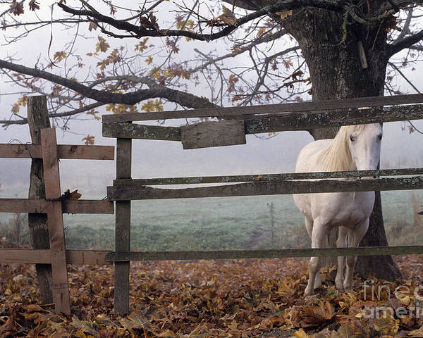 Nature Poster featuring the photograph Horse At Fence by Jim Corwin and Photo Researchers