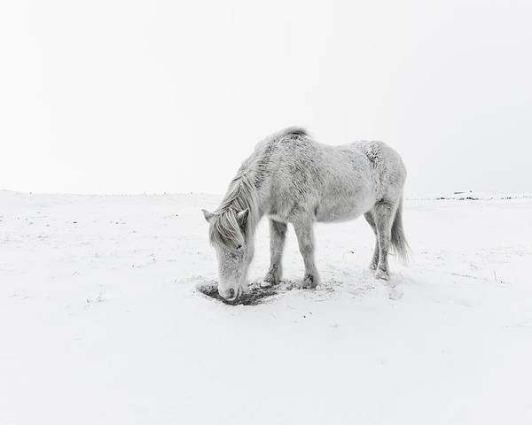 Horizontal Poster featuring the photograph Horse Grazing In Snow by Ingólfur Bjargmundsson