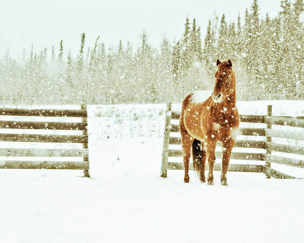 Horizontal Poster featuring the photograph Horse In A Snowstorm by Roberta Murray - Uncommon Depth