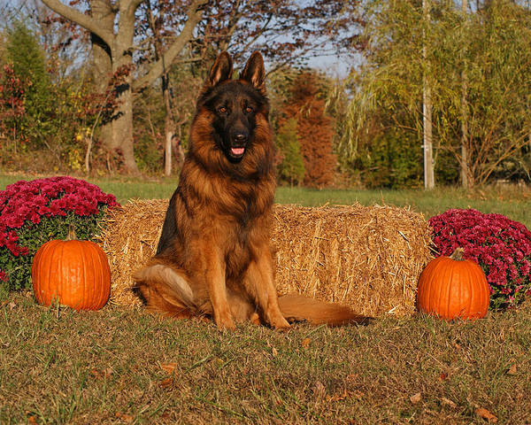 German Shepherd Poster featuring the photograph Hoss In Autumn II by Sandy Keeton
