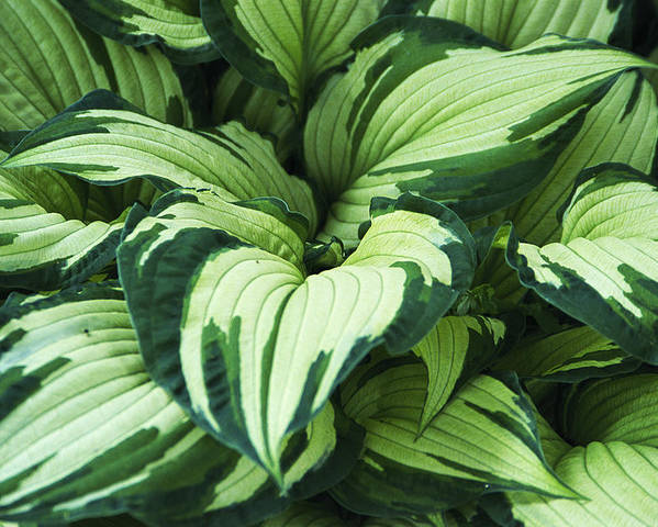 Hosta Albo-picta Poster featuring the photograph Hosta Albo-picta Foliage by Archie Young