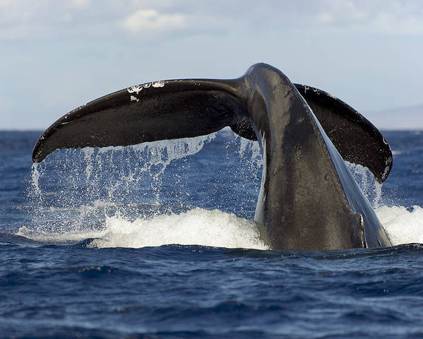Adult Poster featuring the photograph Humpback Tail by Dave Fleetham