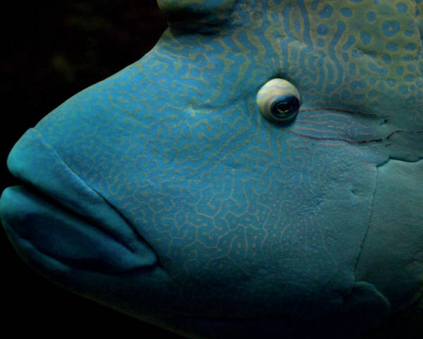 Horizontal Poster featuring the photograph Humphead Wrasse (cheilinus Undulatus) by Tobias Titz