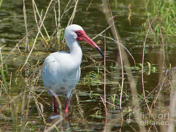 American White Ibis Poster featuring the photograph Ibis At Local Pond by Lynda Dawson-Youngclaus