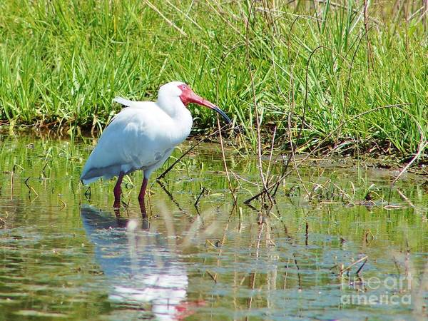American White Ibis Poster featuring the photograph Ibis Looks Up by Lynda Dawson-Youngclaus