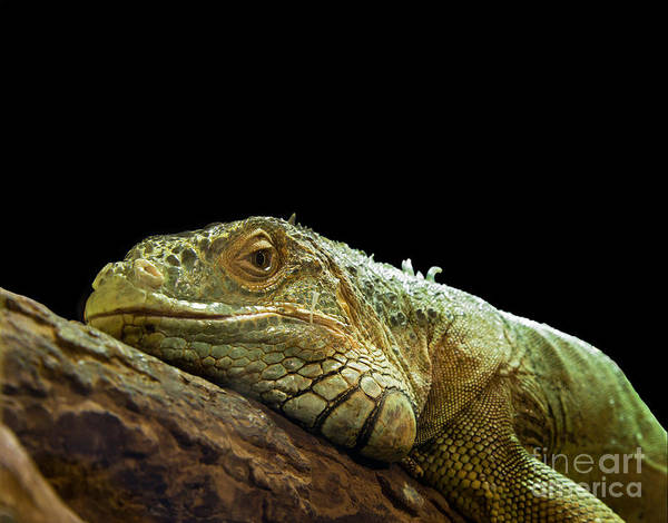 Animal Poster featuring the photograph Iguana by Jane Rix