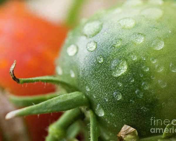 Drop Poster featuring the photograph Immature Tomatoes by Sami Sarkis