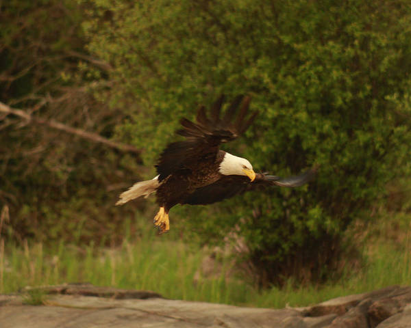 Eagle Poster featuring the photograph In Flight by George Ramondo