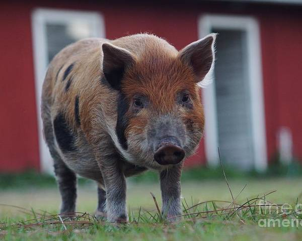 Pig Poster featuring the photograph In Front Of The Red Barn by Lynda Dawson-Youngclaus