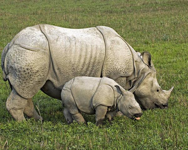 Rhinoceros Unicornis Poster featuring the photograph Indian Rhinoceroses by Tony Camacho