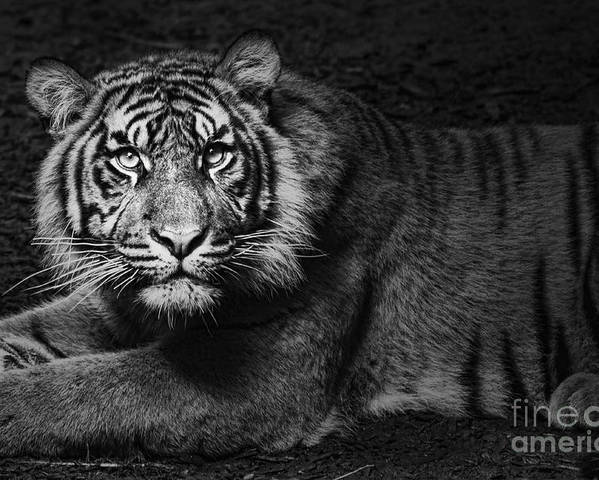 Tiger Poster featuring the photograph Intent by Andrew Paranavitana