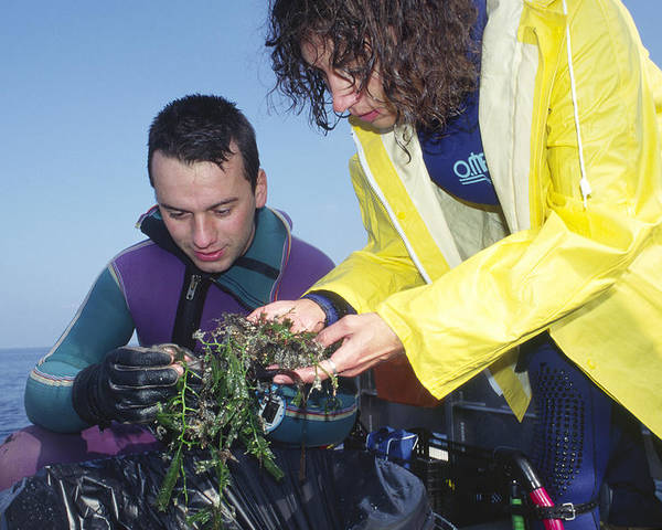 Alga Poster featuring the photograph Invasive Seaweed Control by Alexis Rosenfeld