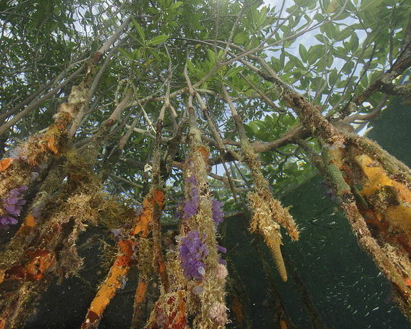 Red Mangrove Trees;rhizophora Mangle;sponges;tree Roots;aquatic Split Level Views;underwater Photography;bays And Inlets;belize;habitats And Ecosystems; Poster featuring the photograph Invertebrate Life Growing On The Roots by Tim Laman