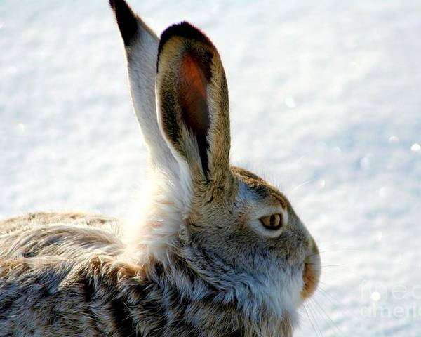 Rabbits Poster featuring the photograph Jackrabbit by Carole Martinez