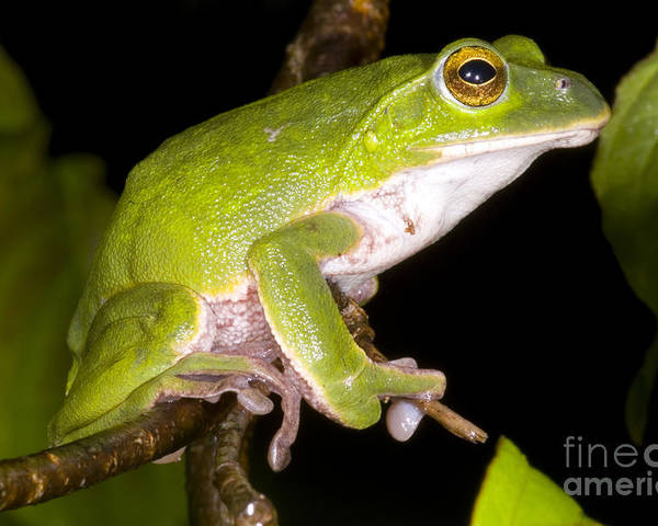 Rhacophoridae Poster featuring the photograph Japanese Rhacophoprid Frog by Dante Fenolio