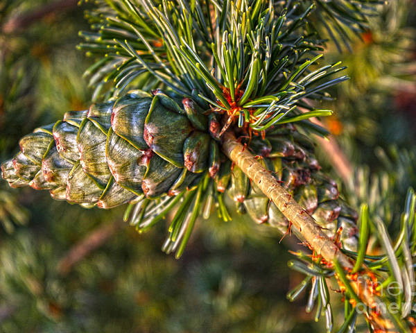 Hdr Poster featuring the photograph Japanese White Pine by David Bearden