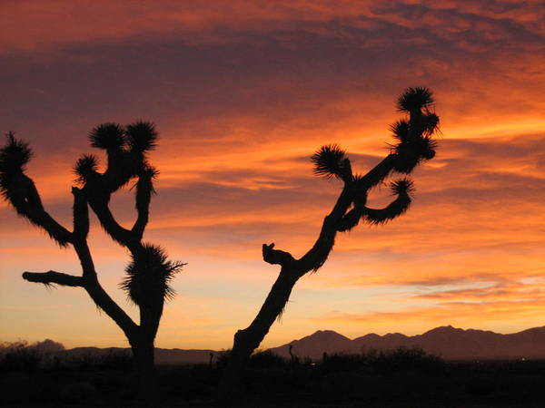 Joshua Poster featuring the photograph Joshua Trees In The Sunset by Berta Barocio-Sullivan