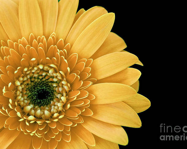 Joyful Poster featuring the photograph Joyful Delight Gerber Daisy by Inspired Nature Photography Fine Art Photography
