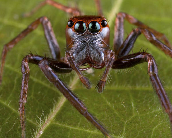 00479040 Poster featuring the photograph Jumping Spider Papua New Guinea by Piotr Naskrecki