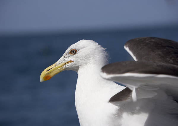 Larus Dominicanus Poster featuring the photograph Kelp Gull by Bob Gibbons