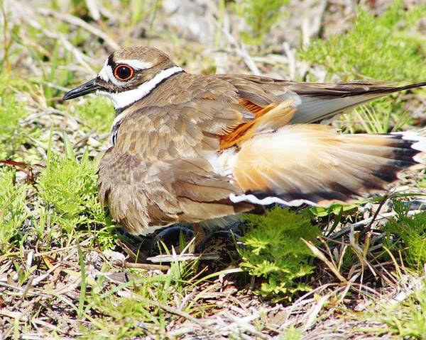 Killdeer Poster featuring the photograph Killdeer Broken Wing Act by Lynda Dawson-Youngclaus