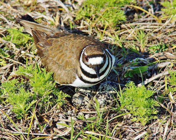 Killdeer Poster featuring the photograph Killdeer On Eggs by Lynda Dawson-Youngclaus