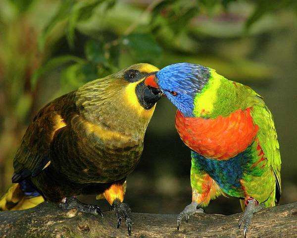Lorikeet Poster featuring the photograph Kissing Birds by Carolyn Marshall