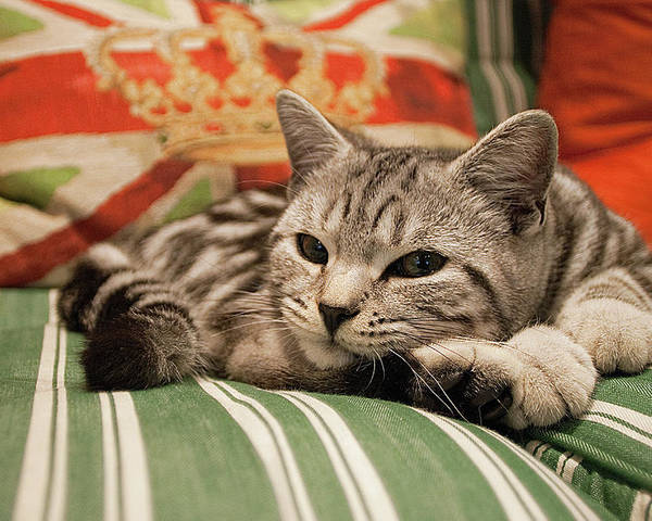 Horizontal Poster featuring the photograph Kitten Lying On Striped Couch by Kim Haddon Photography