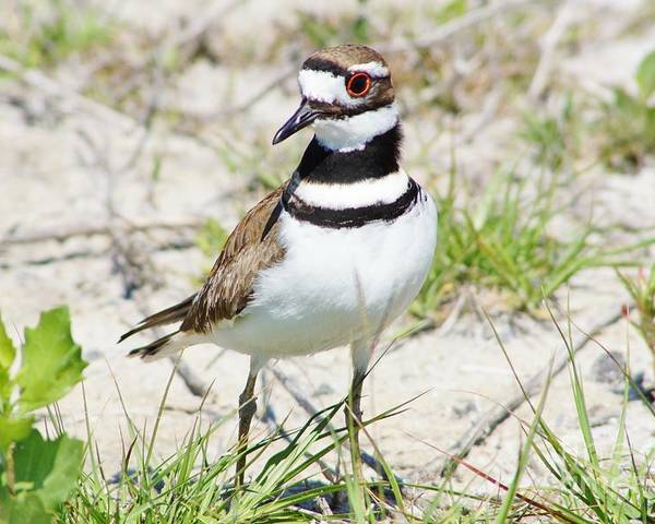 Killdeer Poster featuring the photograph Klassic Killdeer by Lynda Dawson-Youngclaus