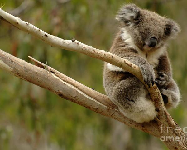 Koala Poster featuring the photograph Koala At Work by Bob Christopher