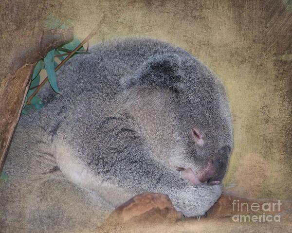Koala Poster featuring the photograph Koala Sleeping by Betty LaRue