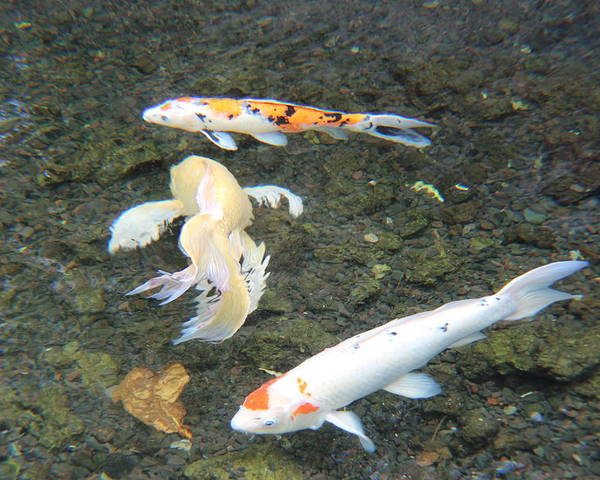 Koi Pond Poster featuring the photograph Koi Fish by Raquel Amaral